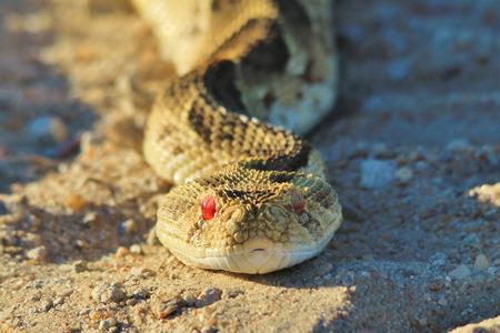 deadly: Puff Adder - Deadly Eyes