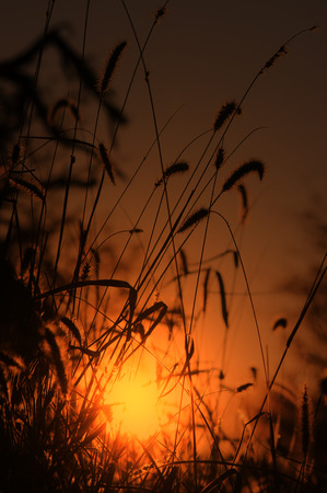 africa outline: Wild Grass Seed - Nature Background from Africa - Outline of Golden Night