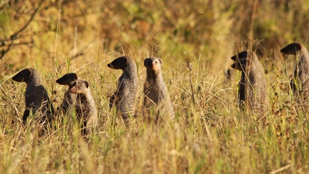 clan: Mongoose - African Wildlife Background - Banded Clan of Curiosity Stock Photo