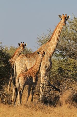 Giraffe - Wildlife Background from Africa - Family of Giants photo