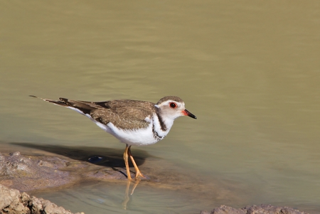 plover: Double Banded Plover - African Wild Bird Background