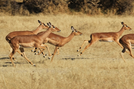 Common Impala - African Wildlife Background - Speed of Life