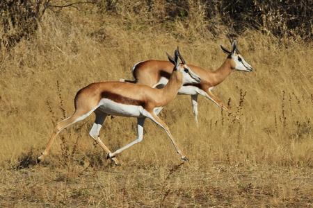 springbok: Springbok - African Wildlife Background - Life is a Blur Stock Photo
