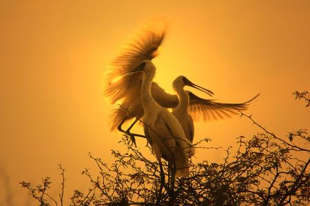 african stork: Spoon Bill Stork - African Wild Bird Background - Golden Air