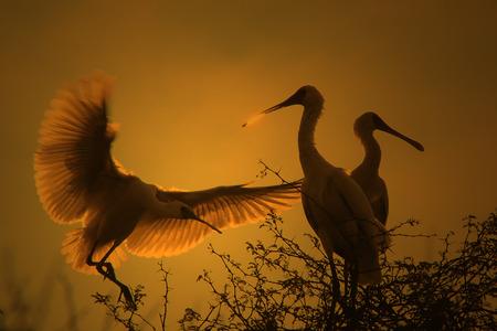Spoon Bill Stork - African Wild Bird Background - Silhouettes of Golden Freedom 写真素材