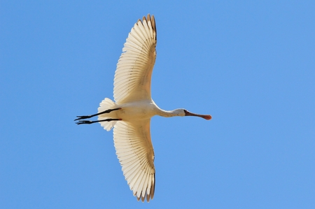 african stork: Spoon Bill Stork - African Wild Bird Background - Wings of Format