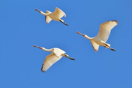 african stork: Spoon Bill Stork - African Wild Bird Background - Formation of Three