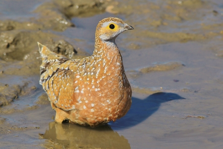 cool down: Namaqua Sand Grouse - African Wild Bird Background - Cooling Off Stock Photo