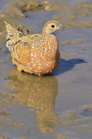 cool down: Namaqua Sand Grouse - African Wild Bird Background - Reflection of Summer