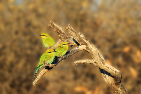 companions: Bee-eater Friends - African Wild Bird Background - Companions of Green