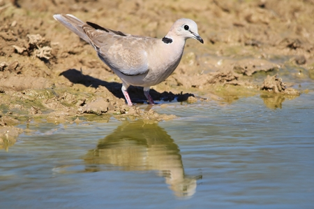turtle dove: Cape Turtle Dove - African Wild Bird Background - Reflection of Blue and Grey