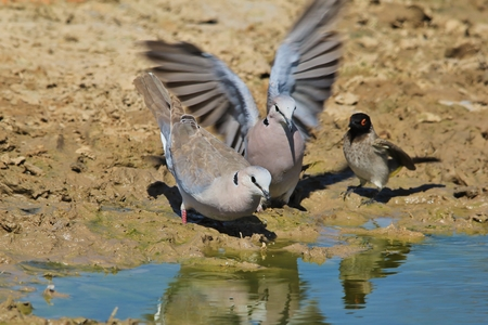 turtle dove: Cape Turtle Dove - African Wild Bird Background - Water is Life Stock Photo
