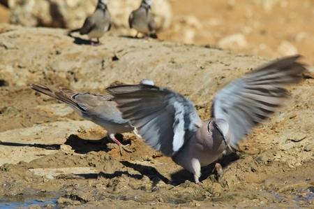 turtle dove: Cape Turtle Dove - Wild Bird Background - Wings of LIfe