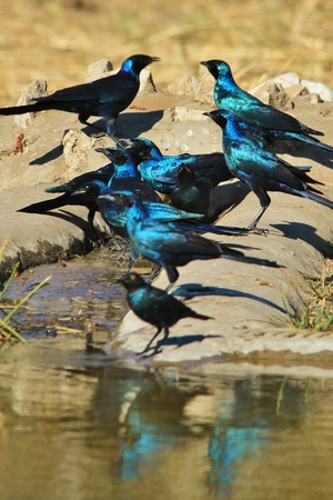 Black-eared Starling - Wild Bird Background - Iridescent Blues