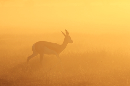springbok: Springbok Silhouette - African Wildlife Background - Golden Solitude Stock Photo