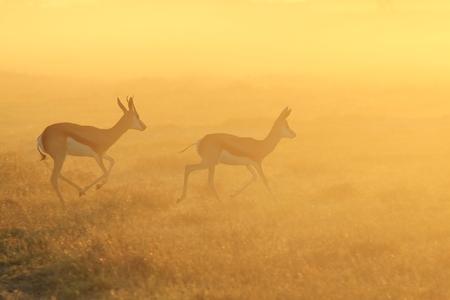 springbok: Springbok Silhouette - African Wildlife Background - Golden Pair Stock Photo