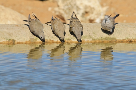 turtle dove: Cape Turtle Dove - Wild Bird Background - Lined up Reflections of Joy