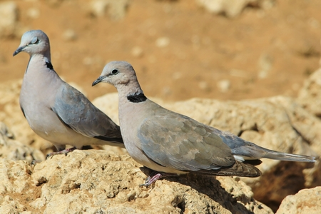 turtle dove: Cape Turtle Dove - Wild Bird Background - Peace Symbol from Africa