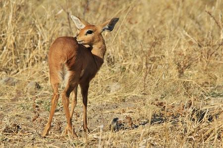 cuteness: Steenbok - African Wildlife Background - Cuteness is Large Ears
