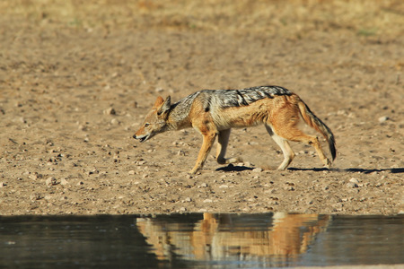 Black Backed Jackal - African Wildlife Background - Predator of Opportunity