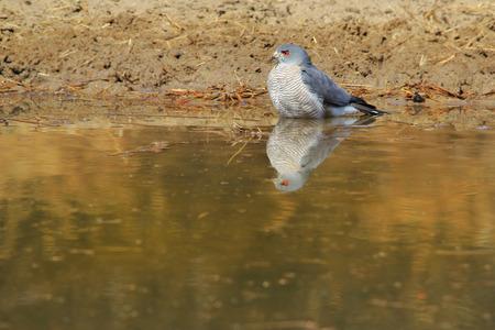 chanting: Pale Chanting Goshawk - African Wild Raptor Background - Golden Reflection
