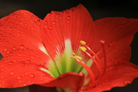 Amaryllis - Flower Background - Red for Romance