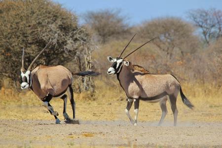 dominacion: Gemsbok - African Wildlife Antecedentes - Intimidaci�n y Domination Foto de archivo
