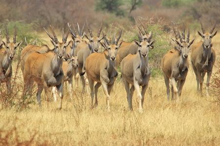 Eland - African Wildlife Background - Herd of Horns and Innocence