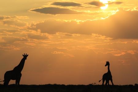 Giraffe - African Wildlife Background - Contour of Golden Freedom