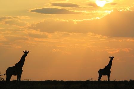 Giraffe - African Wildlife Background - Stance of the Golden Animal Stock Photo
