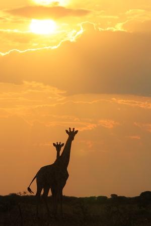 Giraffe - African Wildlife Background - Loving Gold