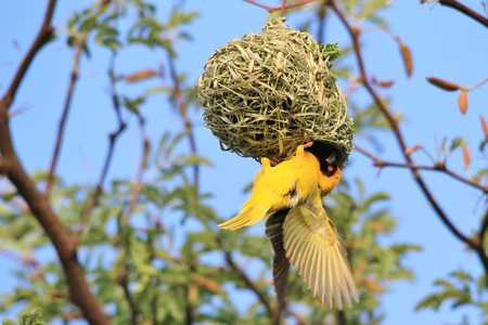 weaver bird nest: Southern Masked Weaver - African Wild Bird Background - Home is a Nest