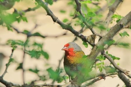 melba: Melba Finch - africanos Pájaros exóticos - Los colores de la naturaleza Foto de archivo