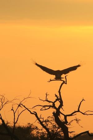 Vulture - Raptor Background - Flight of Gold