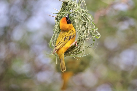 weaver bird nest: Southern Masked Weaver - Building Home