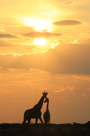 bliss: Giraffe Silhouette - African Wildlife Background - Harmony, Grace and Bliss