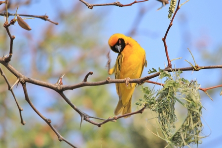 itch: Southern Masked Weaver - Itch of Beautiful Colors