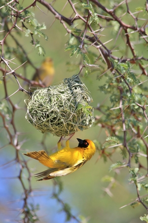 weaver bird nest: Southern Masked Weaver - African Colorful Bird Background - Proud Home Owner Stock Photo