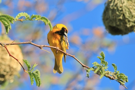 itch: Southern Masked Weaver - Itch of Pleasure and Fun Stock Photo
