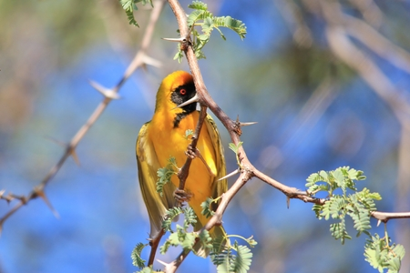 Southern Masked Weaver - Hiding Gold