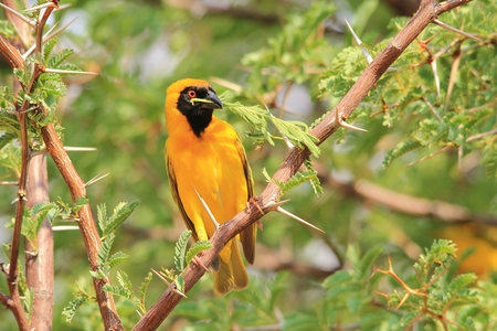 peace symbol: Southern Masked Weaver - African Colorful Bird Background - Peace Symbol Stock Photo