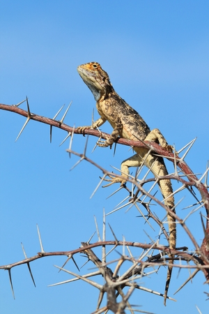 territorial: Spiny Agama - Wild Lizard Background - Territorial Dominance