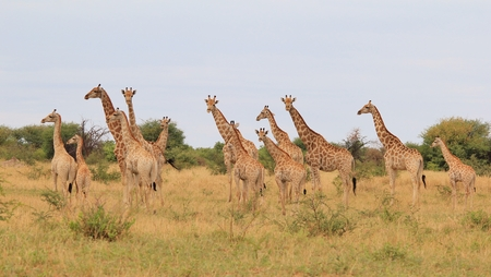 Giraffe - African Wildlife Background - Herd of Necks Stock Photo