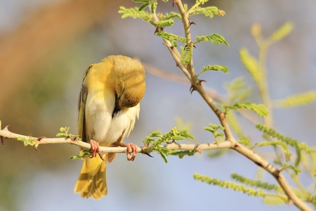 Southern Masked Weaver - African Wild Bird Background - Taking a Nap from Life hectic