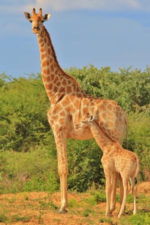 jirafa: Jirafa - Antecedentes African Wildlife - Loving Mom