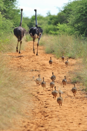 ostrich chick: Ostrich Family - African Wild Bird Background - Follow the Parents Stock Photo