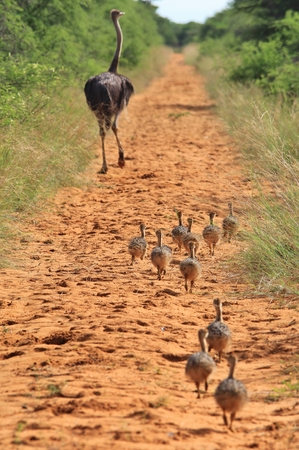 ostrich chick: Ostrich Family - African Wild Bird Background - Baby Animals in Nature