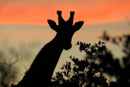 pink skies: Giraffe Silhouette - African Wildlife Background - Dreaming of Pink Skies