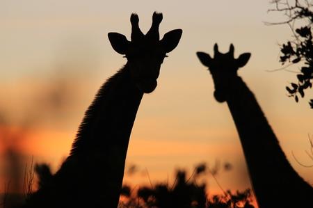giraffe silhouette: Giraffe Silhouette - African Wildlife Background - Pose of Pink