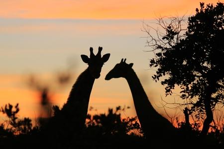 pink skies: Giraffe Silhouette - African Wildlife Background - Pink Skies and Harmonic Peace
